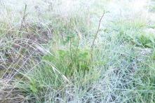 Rosal plantado hace unos meses