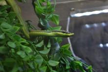 Serpiente arboricola